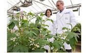Khoai tây chuyển gen kháng bệnh mốc sương được trồng khảo nghiệm tại Anh