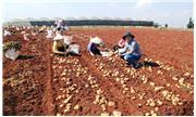 Sản xuất khoai tây sạch bệnh, giá thành thấp