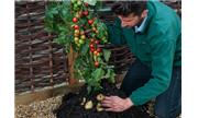 Trồng cà chua gốc khoai tây cho 500 trái một mùa