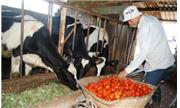 Thuê người khổng lồ ăn cà chua ở Lâm Đồng?
