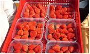 Công nghệ trồng dâu tây thu hoạch quanh năm