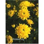 Giống hoa cúc C09.16