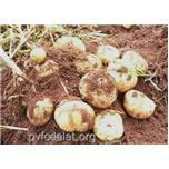 Giống khoai tây TK96.1