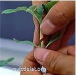 Quy trình kỹ thuật trồng cà chua ghép chống bệnh héo rũ vi khuẩn