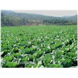 Quy trình trồng cải bắp, cải thảo