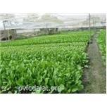 Quy trình trồng cải xanh, cải ngọt