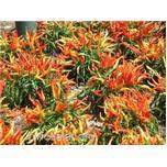 Quy trình trồng ớt cay