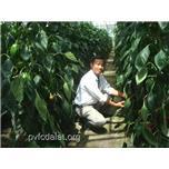 Quy trình trồng ớt ngọt