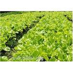 Quy trình trồng xà lách
