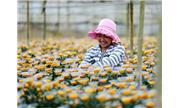 Xuất khẩu hoa Đà Lạt và rào cản giống có bản quyền