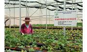 Diện tích dâu tây Đà Lạt tăng lên trên 100ha