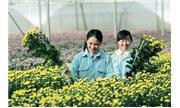 """Liên minh """"hai nhà"""" trồng hoa xuất khẩu"""
