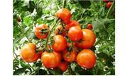 Chuyển giao công nghệ sản xuất 3 giống cà chua mới