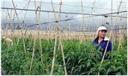 Đơn Dương: Vùng cà chua xiêu đổ vì bệnh xoăn lá