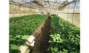 Hiệu quả đề án khoai tây giống sạch bệnh giá thành thấp