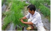 Măng tây dễ trồng, thu nhập cao