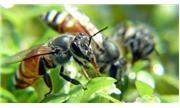 Ong thụ phấn thích mùi hoa của cà chua bị nhiễm virus đốm lá