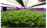 TP.HCM: Khu Nông nghiệp CNC cung cấp hơn 1.000 tấn rau sạch