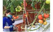 Nhà kính trồng cà chua bằng nước biển đầu tiên trên thế giới