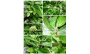 Loài thực vật mới ở núi đá vôi Hà Giang