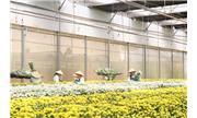 Lâm Đồng có bản quyền giống hoa